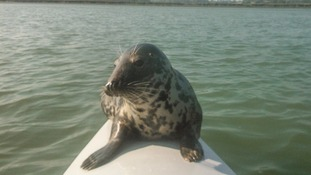 Grey seal aboard