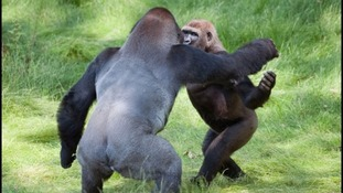 Gorilla brothers reunited after two years