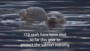More than 100 seals have been shot this year in Shetland.