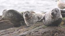 A group of seals rest on bedrock in Shetland