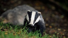 People opposed to the culls have been patrolling the cull zones daily looking for wounded badgers and signs of unlawful culling activity.