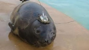 Eve the Hooded Seal