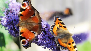 Half of 'Big Butterfly Count' species up on last year