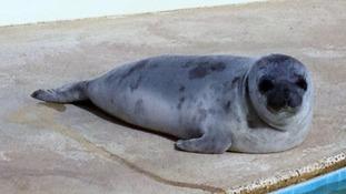 Eve the seal at Natureland