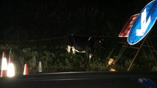 Can you spot the cow on the carriageway?