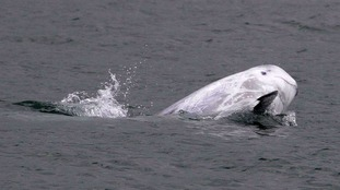 An adult Risso's dolphin spotted playing off the coast of North Wales.