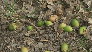 Dog owners warned of autumn acorn dangers