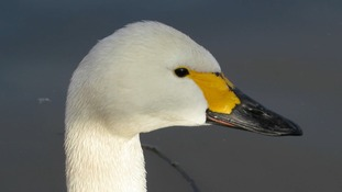 The first of the Bewick's swans have arrived in Norfolk, apparently predicting a harsh winter ahead.
