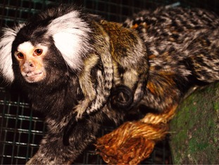 Dad Miko with the marmoset twins