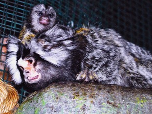 Dad Miko and one of the marmoset twins