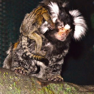 Dad Miko caring for the marmoset twins