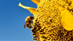 Diesel fumes 'threaten bees' by interfering with flower odours
