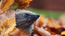 Devon Wildlife Trust - and some familiar faces - have some practical tips on saving our prickly pals.