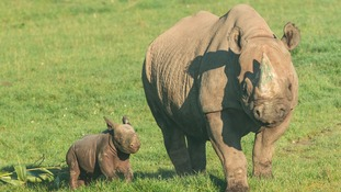 That's my boy! Park's first new baby rhino for 40 years