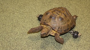 Child's toy gives Harry the tortoise a new lease of life