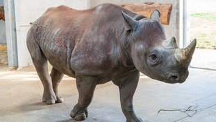 Nkosi will be the head of the herd at the new Kifaru Reserve.