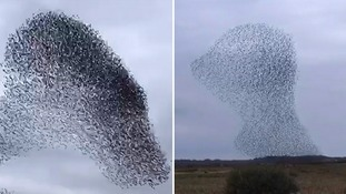 Remarkable starling displays caught on camera