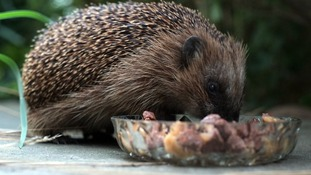 Hedgehog eating cat food in the garden