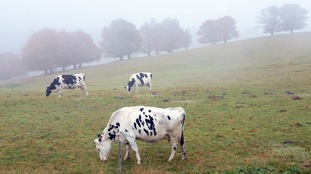 Anthrax found in cow in Wiltshire