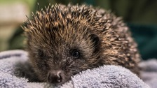 People are being urged to make their gardens more hedgehog friendly