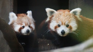 First steps for new Red Panda cubs born at Welsh Zoo