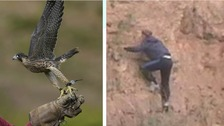 A Peregrine falcon like the one seen here was taken from a site near Rotherham