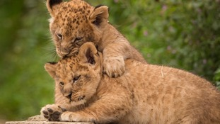 Knowsley's newborn lion cubs take step into limelight