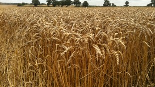 Wheat crop struggling to grow