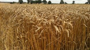 Wheat crop struggling to grow
