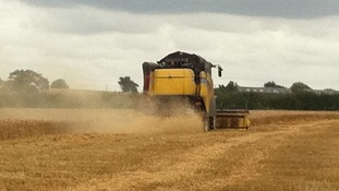 Harvesting has been made difficult by high water levels