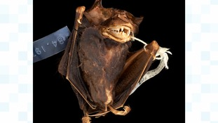 New bat species 'emerges from museum vault' after 30 years, in time for Halloween