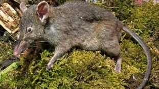 Newly discovered 'toothless' rat Paucidentomys vermidax