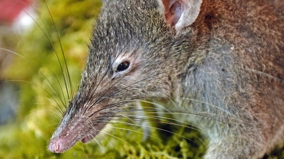 The discovery represents a new step in rodent evolution