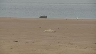Grey seal pup on Blakeney Point.