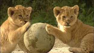 Knowsley's newborn lion cubs practice their footwork