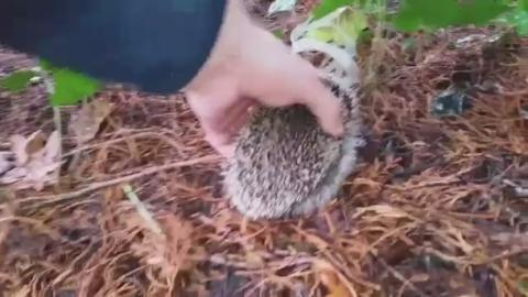 G-Hedgehog_rescue