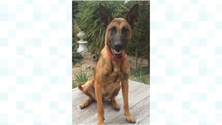 Meg is a Belgian Malinois