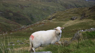 Sheep on Snowdonia