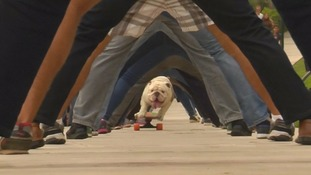 Dog sets new world record for skateboarding through human legs