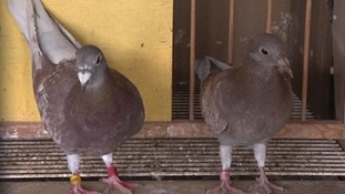 Someone call the pigeon detectives! Hundreds of birds go missing in Thirsk