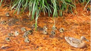 The ducklings and mother mallard duck at he London Wetland Centre.