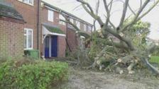 Oak tree fall in Didcot