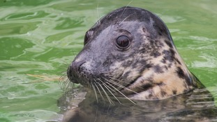 A new life for Annie the seal after double rescue