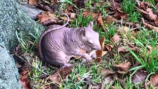 Wildlife experts try to find bald squirrel spotted in Dunstable.