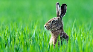 Six men have been detained following reports of hare coursing.