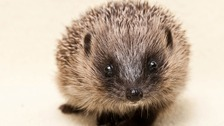 Wildlife experts from the South join campaign to save the hedgehog