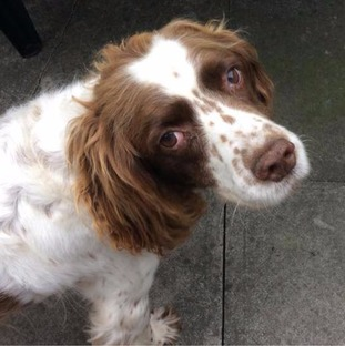 Tess the springer spaniel looking up at the camera