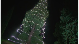 Simon's Blog - Britain's Tallest Living Christmas Tree