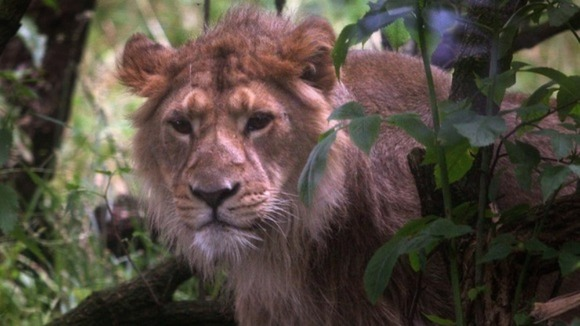 lion loose in essex uk
