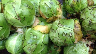 Mild weather leads to bigger Brussels sprouts